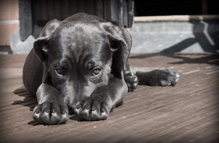 bg chien