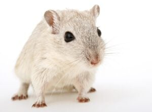 cohabitation rat chien
