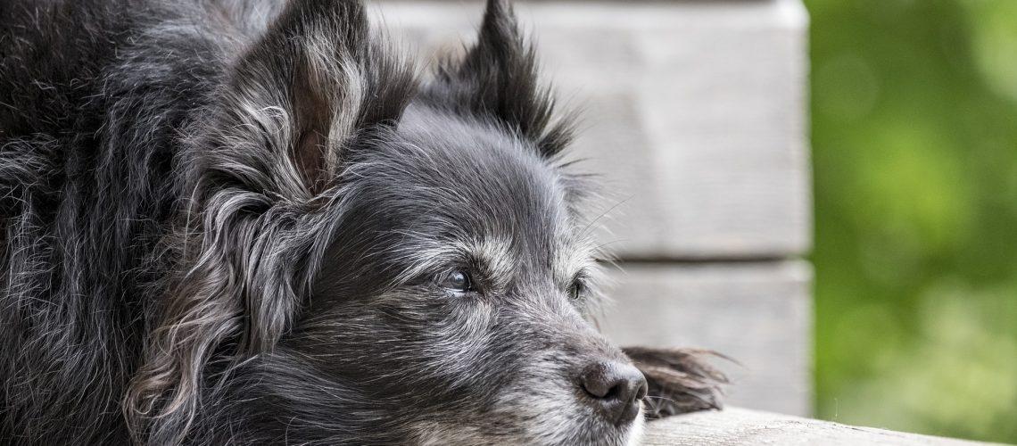 chien sénior