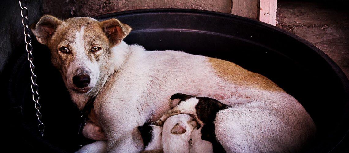 chienne enceinte chiots